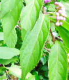 皇居の植物ムラサキシキブ