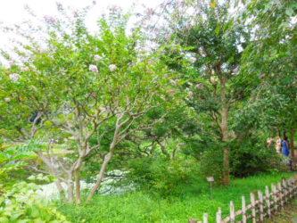 皇居庭園のヒレナガコイ