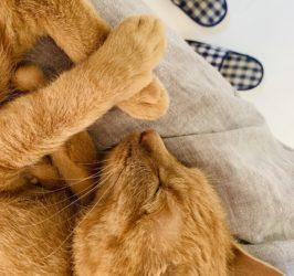 ネコの鳴き方子猫