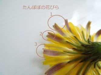 タンポポの花びらの解説